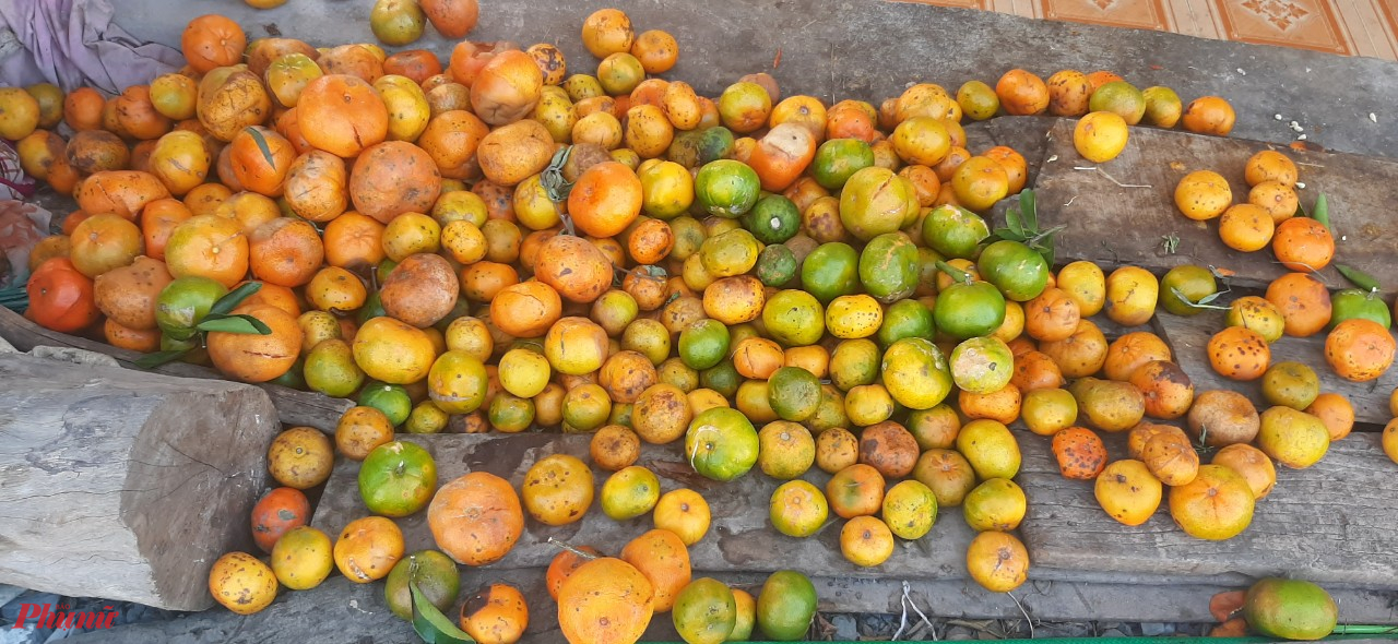 Quýt Hồng thu hoạch nhưng trái hư, thương lái không thu mua, người dân để lại