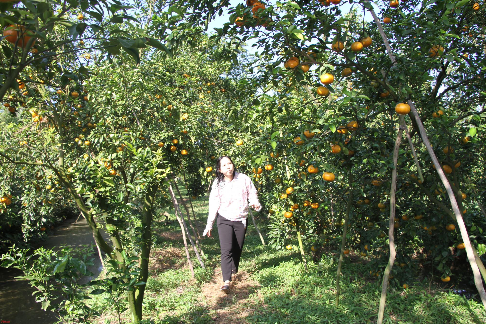 Cận cảnh vườn quýt Hồng thưa trái, trái nhỏ, nhiều trái bị đốm,