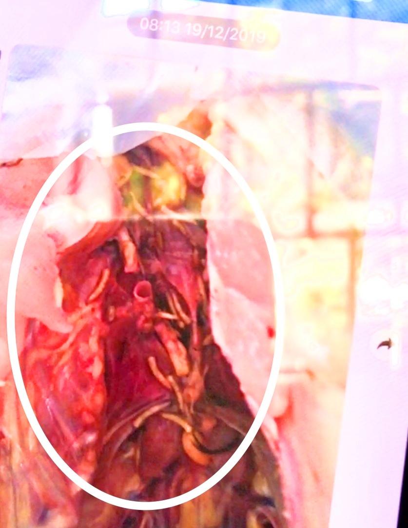 Hình ảnh phụ huynh cung cấp được chụp lại vào ngày 19/12 cho rằng có dòi trong gà tại  bếp ăn bán trú trường Trần Quốc Toản