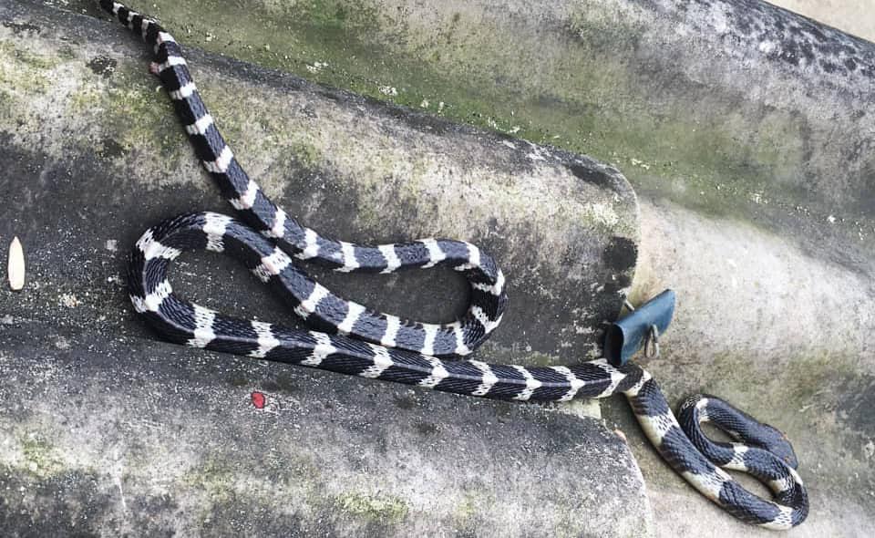 Con rắn độc dài hơn 1m bị người dân bắt sau đó