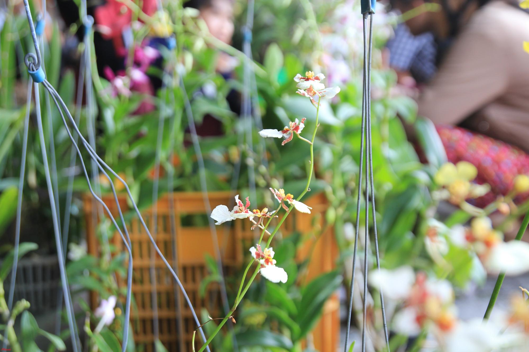 Anh Trung (quận 11, TPHCM) cho hay đối với các giống lan rừng không phải loại nào cũng dễ ra hoa. Do đó, nên chọn những giống dễ ra hoa
