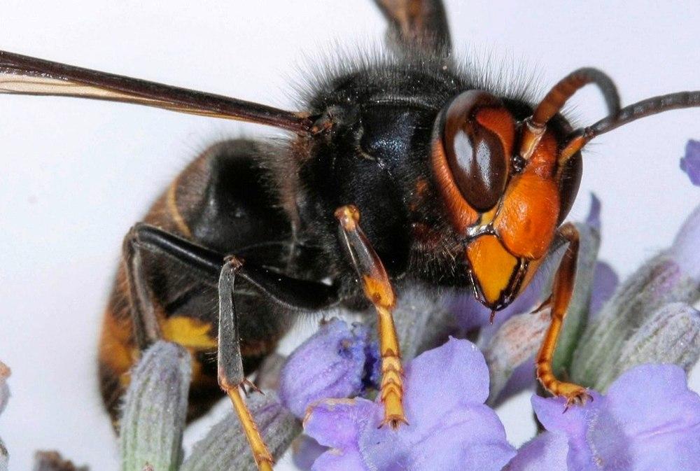 Ong mặt quỷ