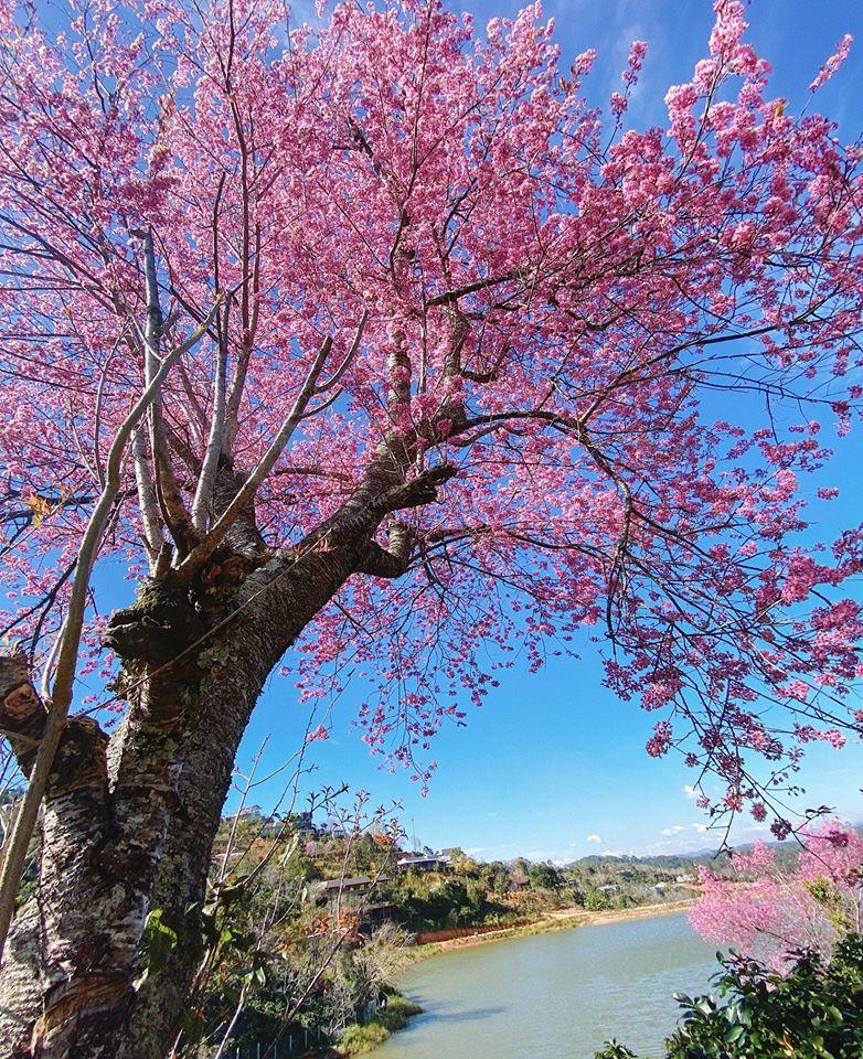 Năm nay, hoa mai anh đào nở đồng loạt, khiến khung cảnh Đà Lạt càng thêm rực rỡ. Cây đào cổ thụ đầu tiên mà Võ Thịnh ghi lại những hình ảnh tuyệt đẹp nằm trong thung lũng bên cạnh bờ hồ thơ mộng, ở đường đi Trại Mát.