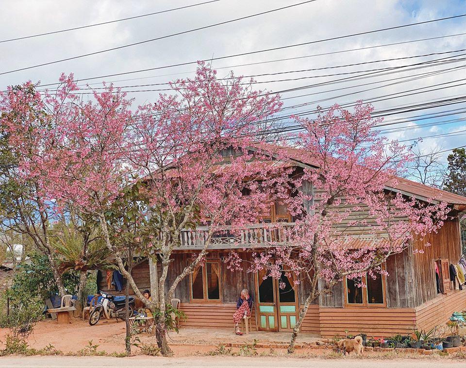 Một địa điểm khác mà Võ Thịnh ghé thăm là những cây mai anh đào trước những ngôi nhà gỗ nằm ở địa phận huyện Lạc Dương, gần thung lũng Dasar.
