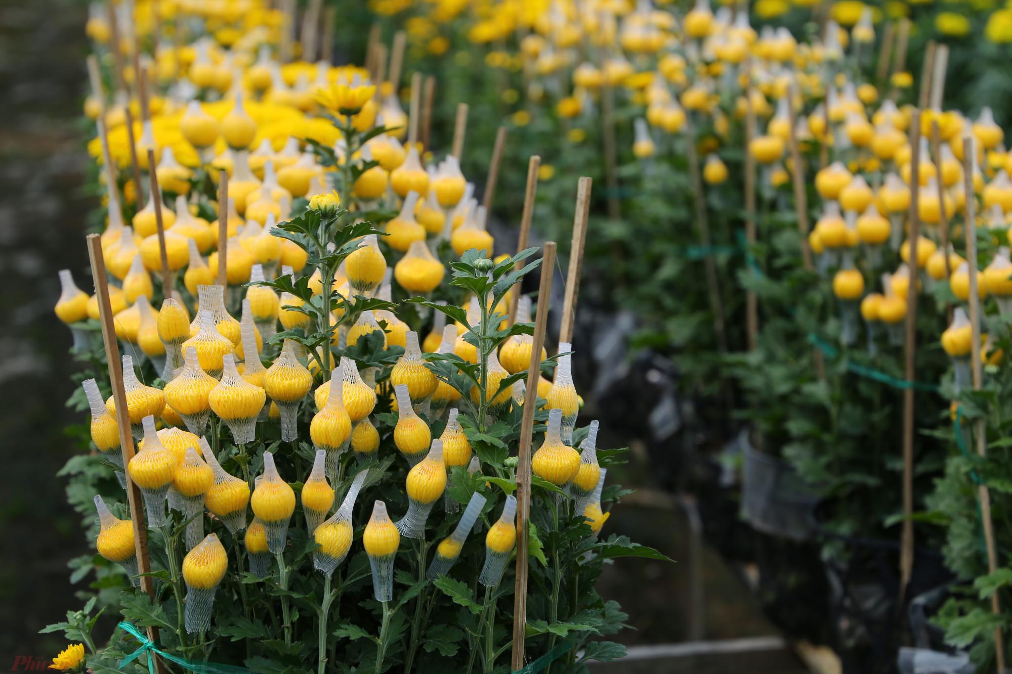 Ngoài cúc mâm xôi, cúc tiger, cúc vàng cánh dài, cúc tím... cũng được các hộ dân trồng nhiều. Những loại hoa này dễ chăm sóc hơn cúc mâm xôi, chỉ mất khoảng 3 tháng hơn. Giá sỉ của chúng dao động từ 100.000-140.000 đồng/cặp.