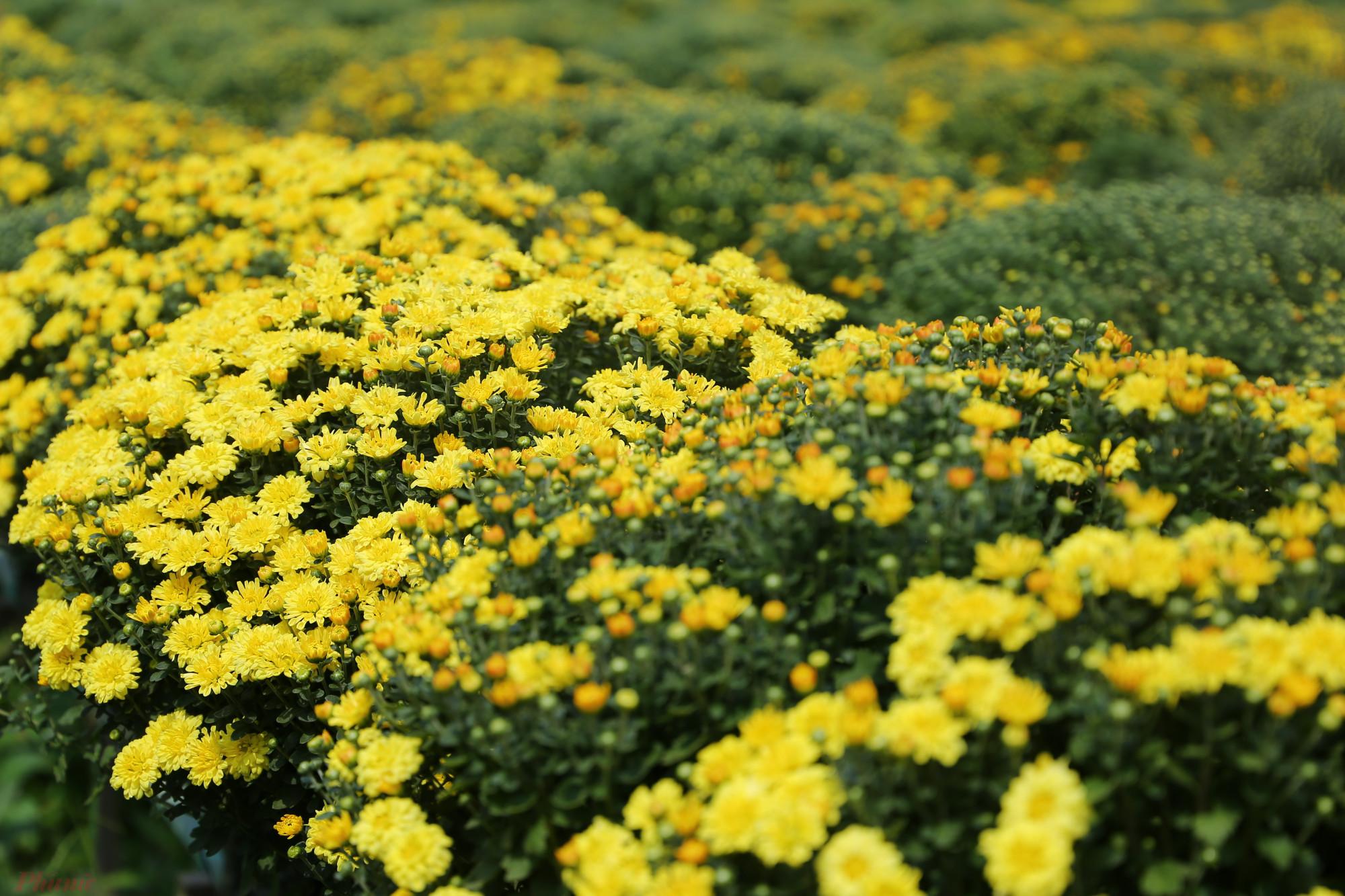 Về Sa Đéc trong những ngày cuối tháng Chạp, không khí rộn rã, nhộn nhịp len vào từng ngõ ngách. Đây cũng là thời điểm hoa Tết tại làng hoa trăm tuổi này được xuất đi nhiều nơi. Trong đó, những cánh đồng cúc mâm xôi bát ngát luôn dễ dàng thu hút sự chú ý bởi sắc vàng rực rỡ đặc trưng cũng như kiểu dáng bo tròn độc đáo.