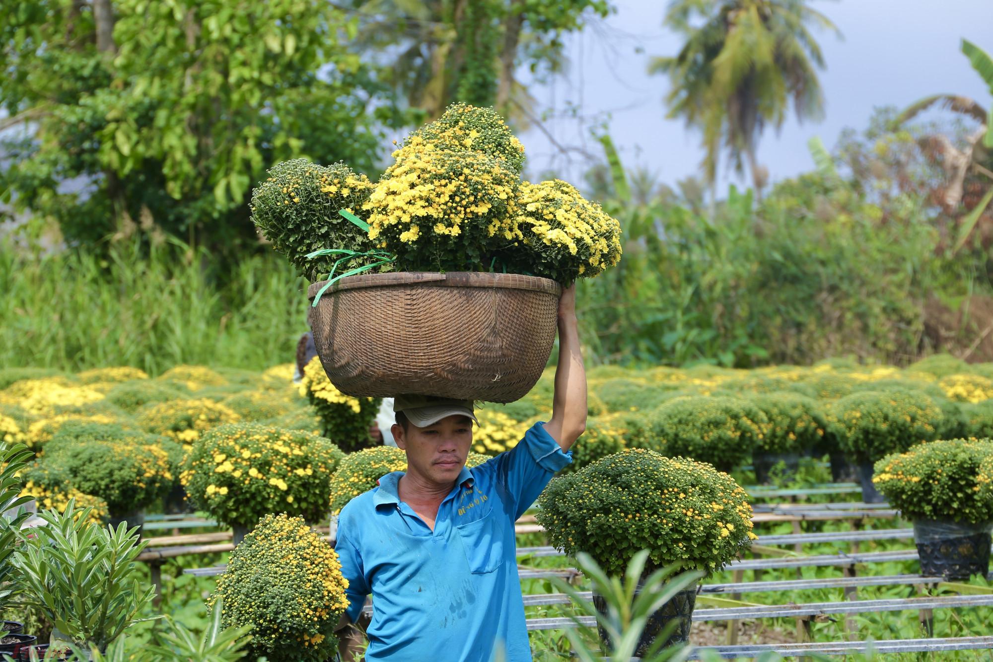 Mỗi hộ trồng cúc mâm xôi đều có số lượng lớn từ hơn 1.000 đến khoảng 4.000-5.000 chậu. Loại hoa này khá tốn diện tích do tán bông xoè tròn nên hộ nào có đất rộng mới có thể canh tác.