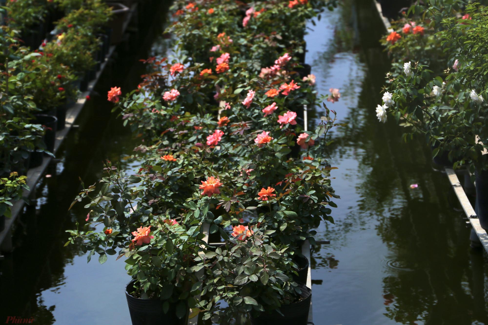 Nhắc đến Sa Đéc cũng không thể quên đi hoa hồng trứ danh. Hoa này có nhiều giống: hồng nhung, hồng tỉ mụi, hồng leo... Giá của chúng từ vài chục nghìn/cặp nhỏ đến vài triệu đồng đối với những giống hồng leo.