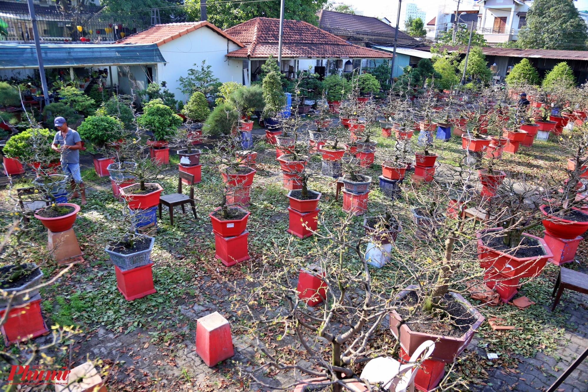 Hàng năm, cứ vào đầu tháng 12 Âm lịch, các vườn mai cho thuê tại TP.HCM lại bắt đầu quá trình chăm sóc nước rút để mai nở rộ và đẹp để chơi đúng dịp Tết
