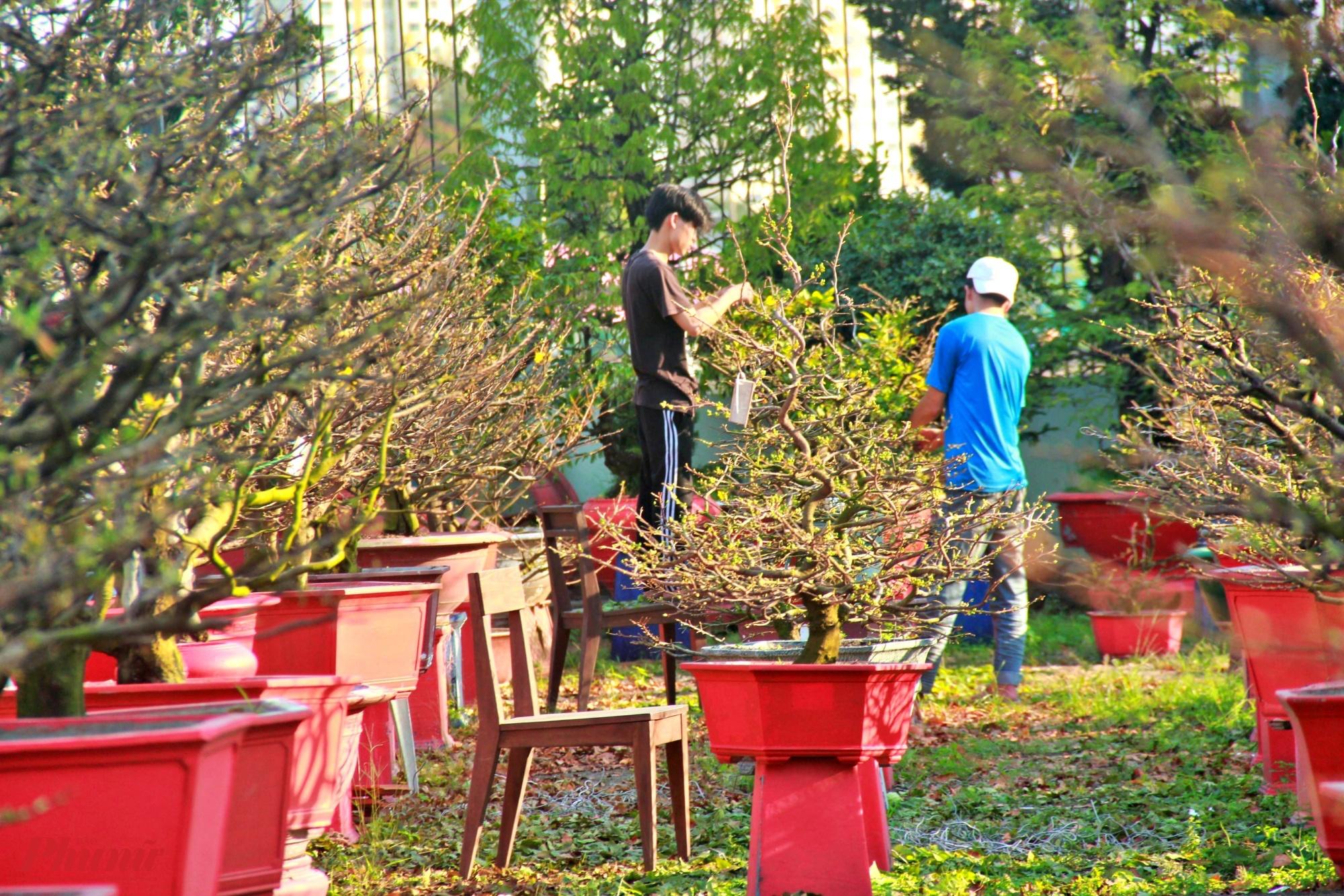 Các nhân công tất bật lặt lá mai dịp Tết, mỗi người kiếm được khoảng 300 ngàn đồng/ngày. Để tránh trường hợp mai nở sớm có nhiều biện pháp để chỗ mát, chia lấy lan, thời tiết rất quan trọng đến việc hoa nở đúng dịp tết hay không.