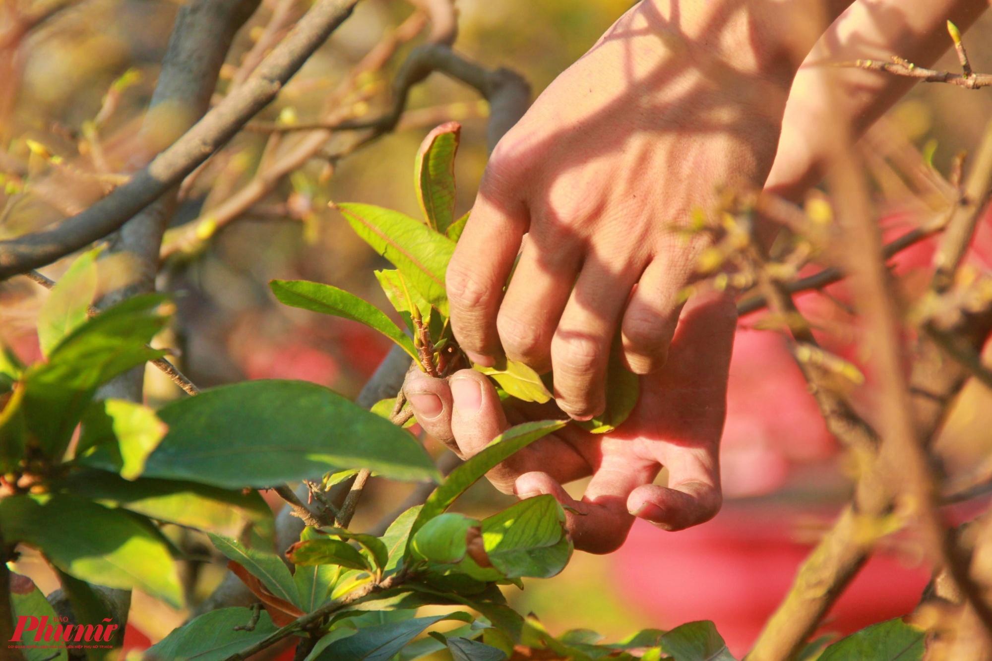 Các nhà vườn cho nhân công thường tút lá từ khoảng 15 đến 18 tháng Chạp, hiện tại thời tiết nắng gắt có thể hoa nở sớm.