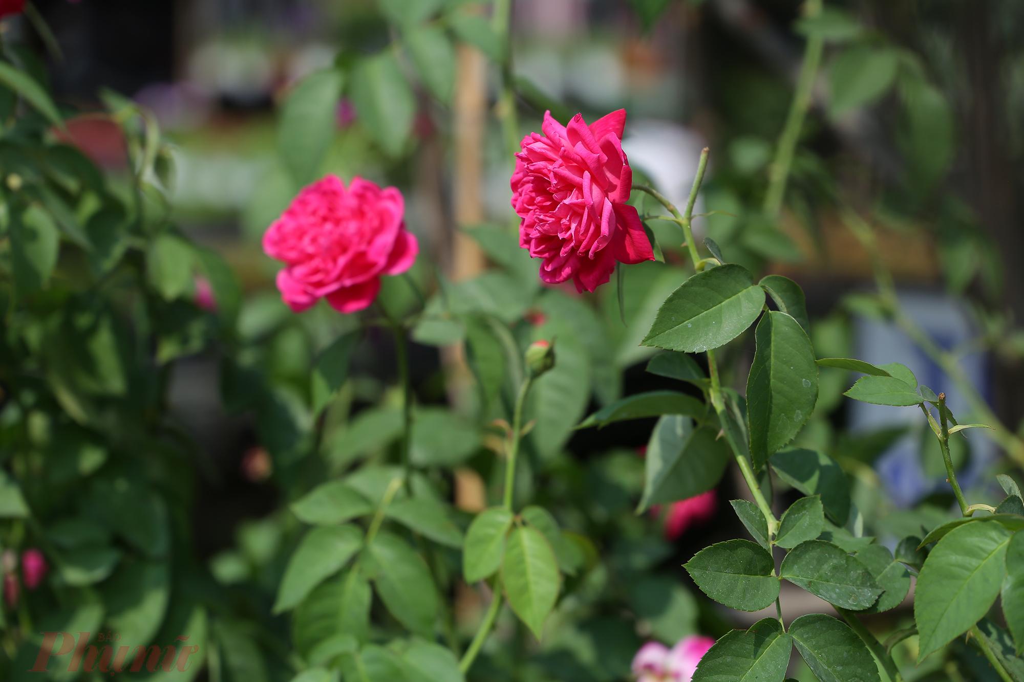 Sa Đéc nổi danh với hàng chục giống hồng khác nhau. Vì thế, cũng đừng quên lưu lại những khoảnh khắc đẹp với chúng.