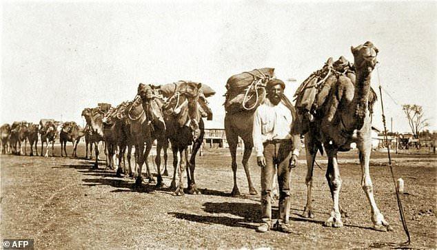 Lạc đà được đưa đến châu Úc vào khoảng những năm 1840 để phục vụ công cuộc thám hiểm, khai hoang. Nhưng số lượng của chúng đã vượt ra ngoài kiểm soát.