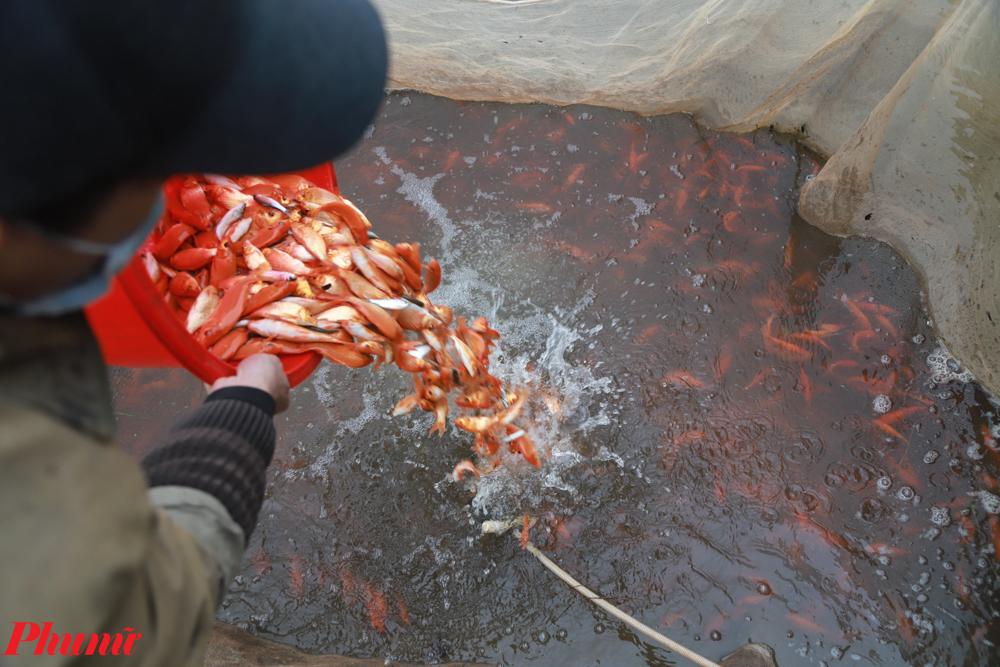 Với tổng sản lượng ước tính khoảng 50 tấn, lượng cá chép đỏ thu hoạch được tại làng Thủy Trầm có thể đảm bảo cung cấp cho toàn miền Bắc, đặc biệt các tỉnh như: Hà Nội, Yên Bái, Lào Cai, Lạng Sơn, Vĩnh Phúc... và một số tỉnh thành miền Trung như: Thanh Hóa, Nghệ An.