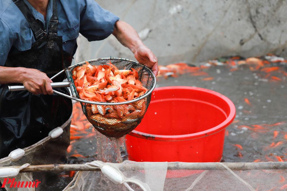Hiện tại một số chợ dân sinh ở Hà Nội đang bán lẻ một bộ 3 cá chép với giá từ 10.000 đồng đến 40.000đồng/bộ tùy thuộc vào chất lượng cá.