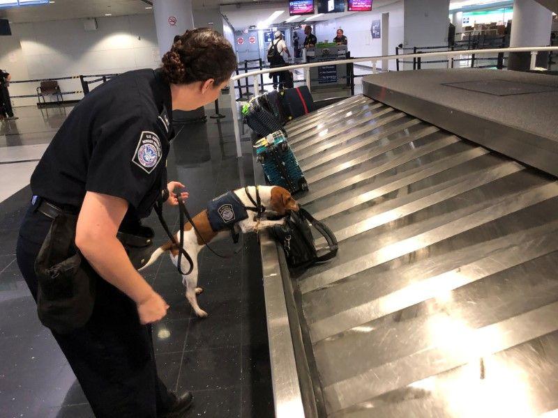 Chó nghiệp vụ của biên phòng Mỹ phát hiện bánh sandwich thịt heo trong túi đeo của một nữ hành khách bay đến sân bay Chicago từ Thượng Hải - Ảnh: Reuters