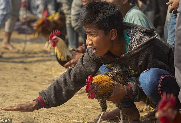 Một cậu bé cổ vũ gà chiến của mình trong trận đấu thuộc khuôn khổ lễ hội Jonbeel gần Jagiroad vào thứ Sáu, 17/1.