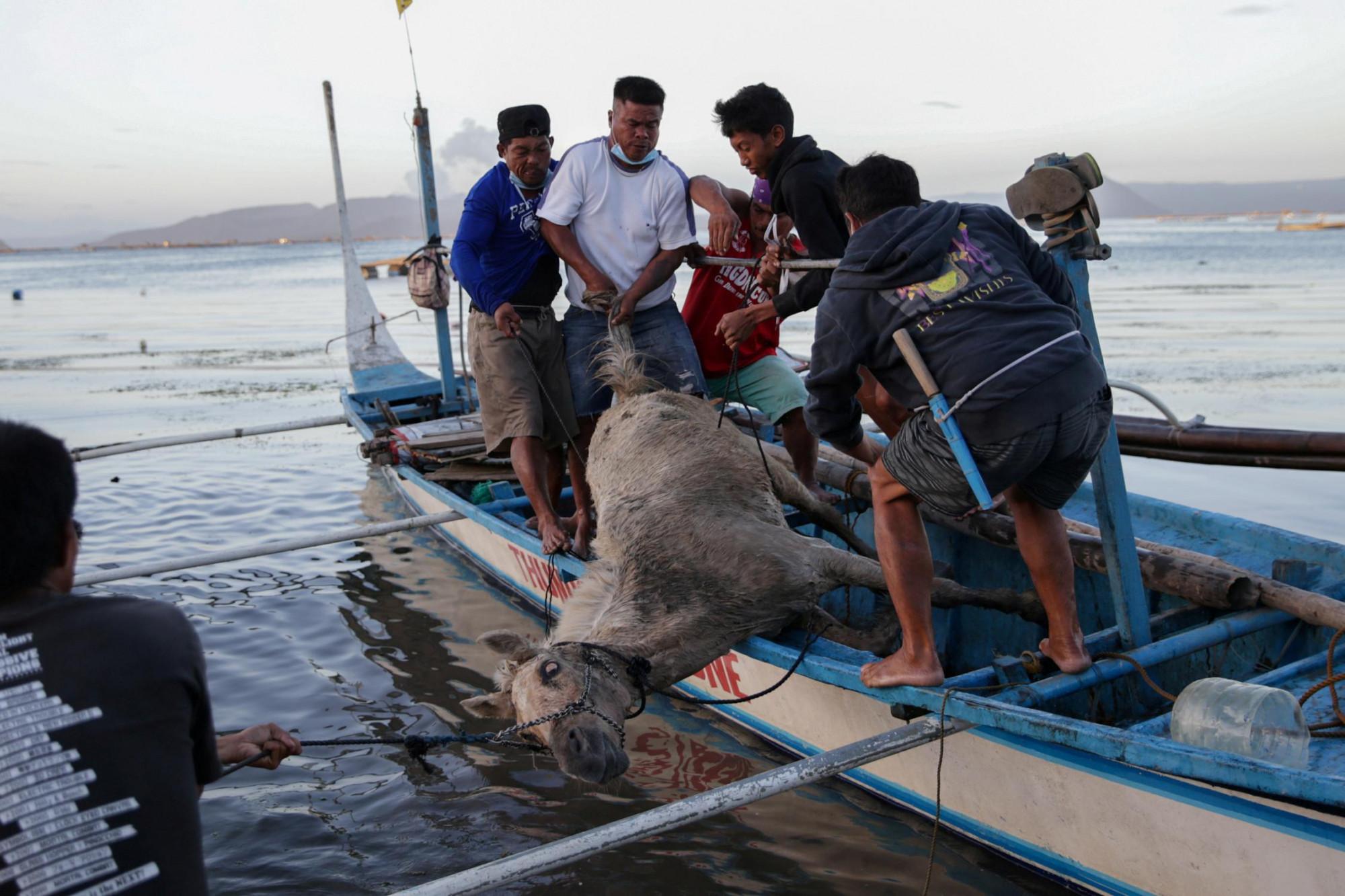 Một con ngựa bị thương được những người dân ở gần núi lửa Taal cứu lên thuyền của họ. Hình của Eloisa Lopez, chụp ở Talisay, Batangas, ngày 16/1/2020 (nguồn: Reuters).