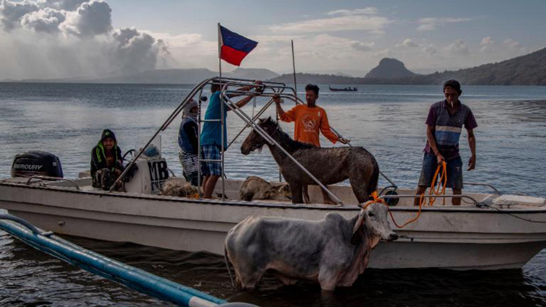 Vài con ngựa được được giải cứu từ khu vực gần miệng núi lửa Taal, đưa lên một chiếc thuyền. Hình của Ezra Acayan (nguồn: Getty Images).