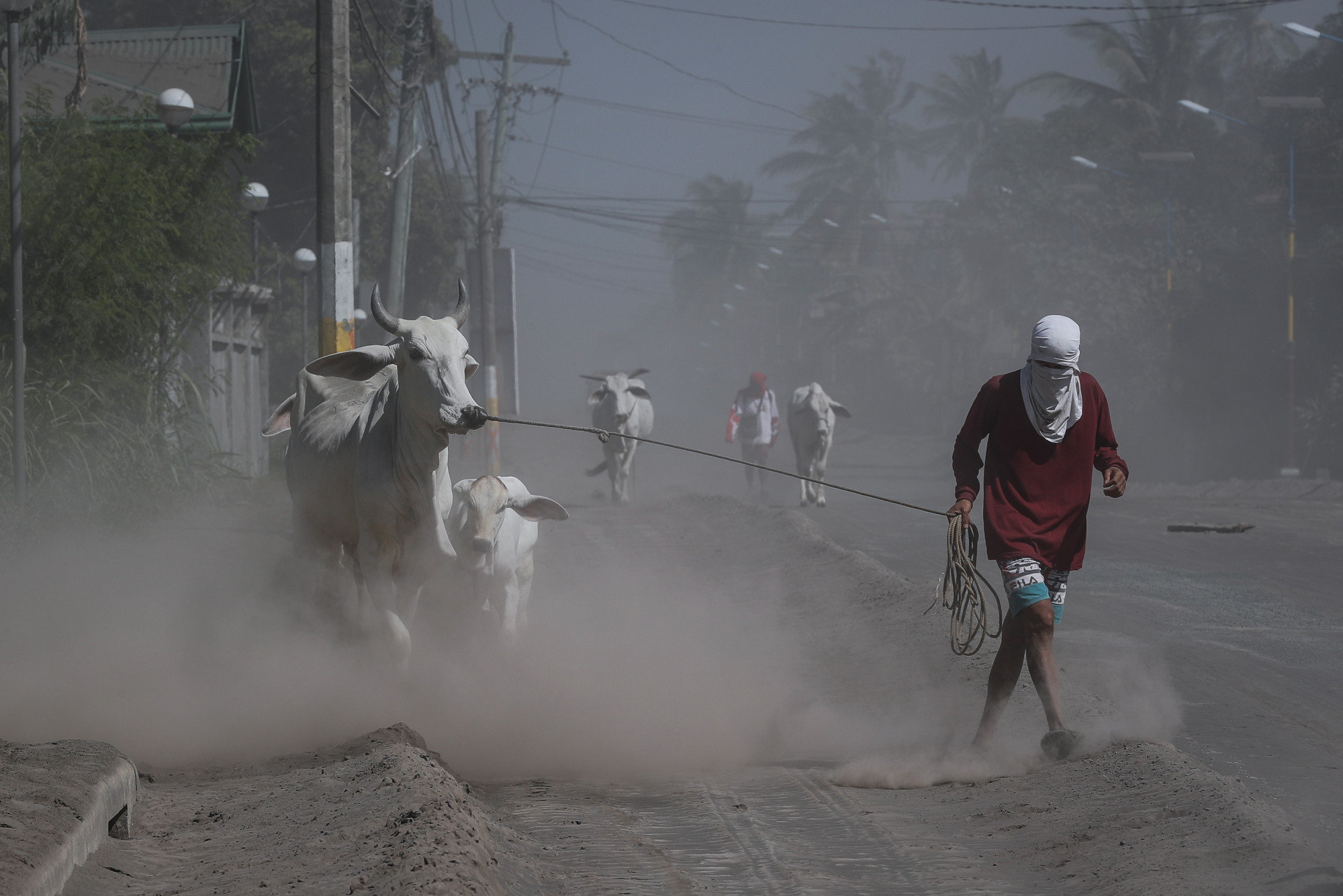 Người dân kéo những con bò của họ trên một con đường ở thị trấn Agoncillo, Batangas, ngày 16/1/2020. Hình của Mark R Cristino (nguồn: EPA / EFE).