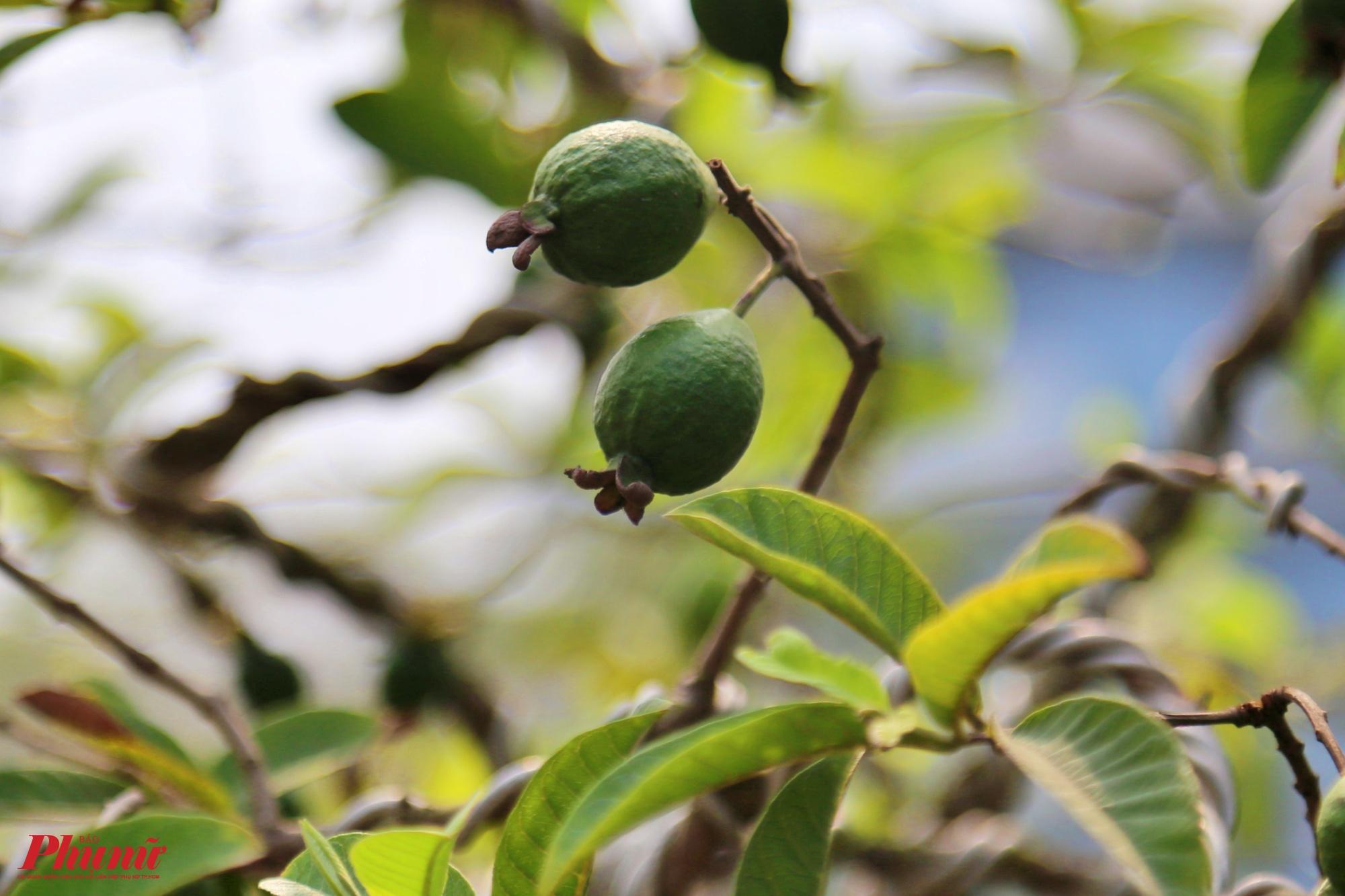 Trái nhỏ, vỏ màu xanh. Khi chín trái rất thơm và ngọt hơn hẳn các giống ổi khác, đây là điểm đặc trưng của giống này