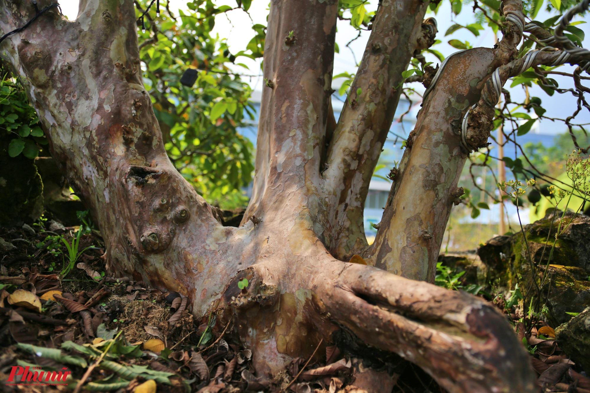 Theo kinh nghiệm chơi kiểng cho biết những cây nào càng xù xì, có nhiều vết tích thì lại càng giá trị và được trả giá cao hơn.