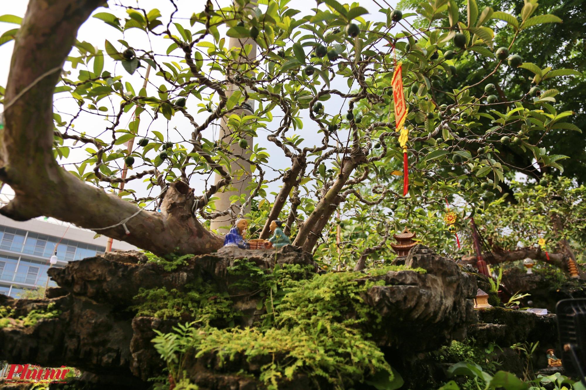 Chủ nhân của cây ổi còn khéo léo tạo tiểu cảnh quanh gốc ổi khá sinh động