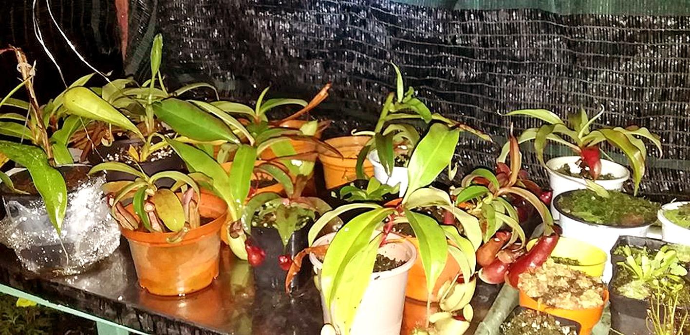"""Nguyễn Thành Ðạt có một """"thế giới riêng"""" bên hông nhà, trồng sen, hoa hồng và các loại cây bắt ruồi"""