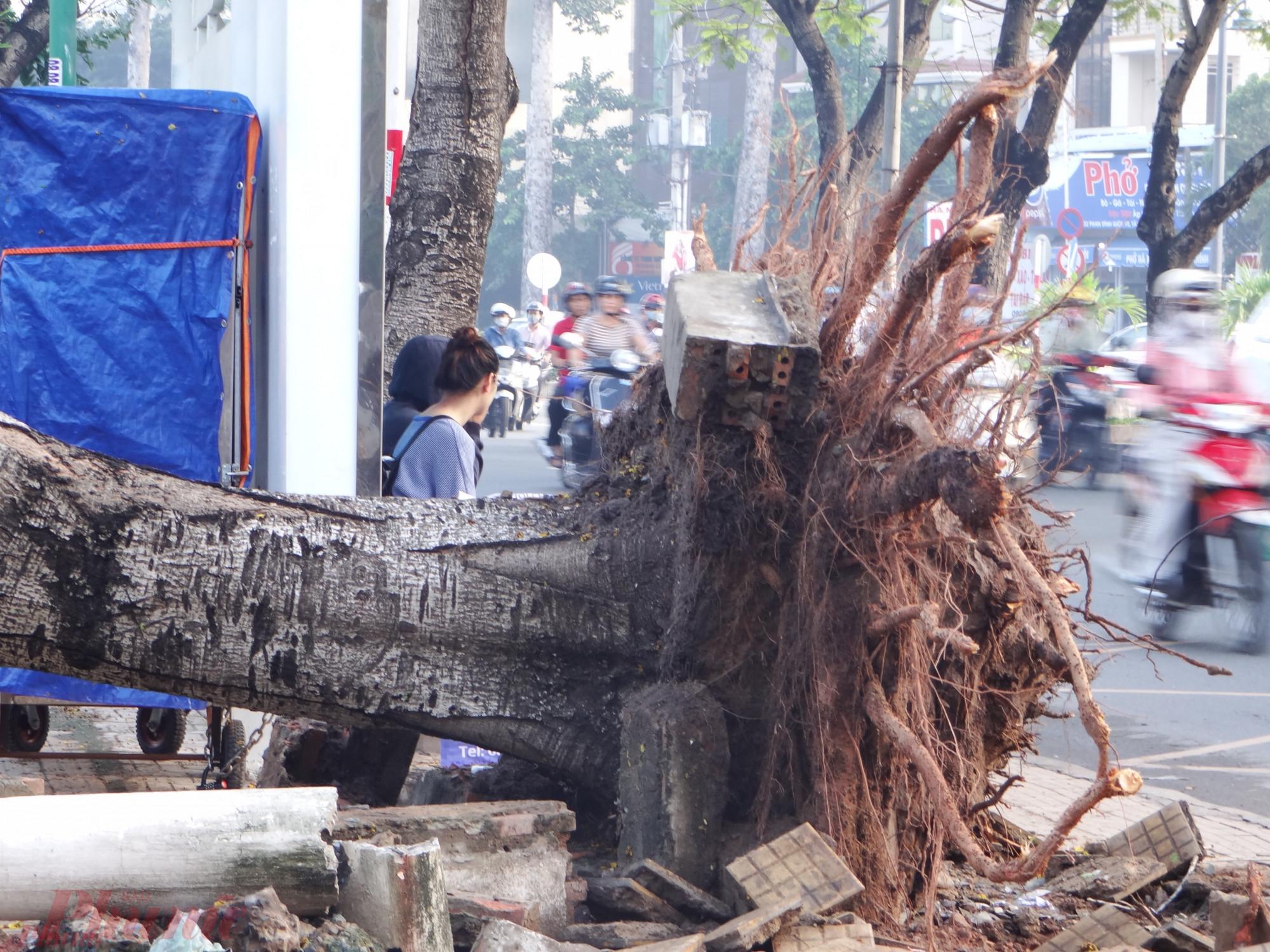 Những cây xanh trên đường phố Sài Gòn bị xâm hại bộ rễ mùa khô rất dễ ngã đổ gây tai nạn khi mùa mưa đến.