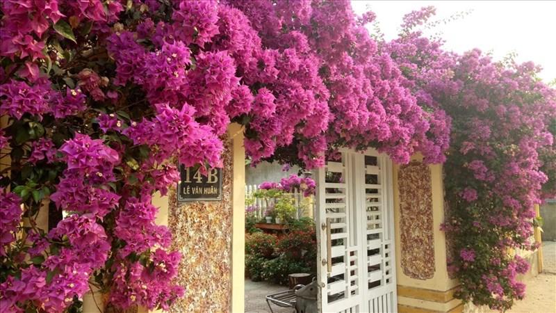 Hoa giấy được trồng khắp mọi nơi ở Lao Bảo. Ảnh từ Internet
