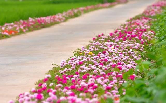 Lối vào nhà chỉ có hoa mười giờ nở rộ. Ảnh: sưu tầm