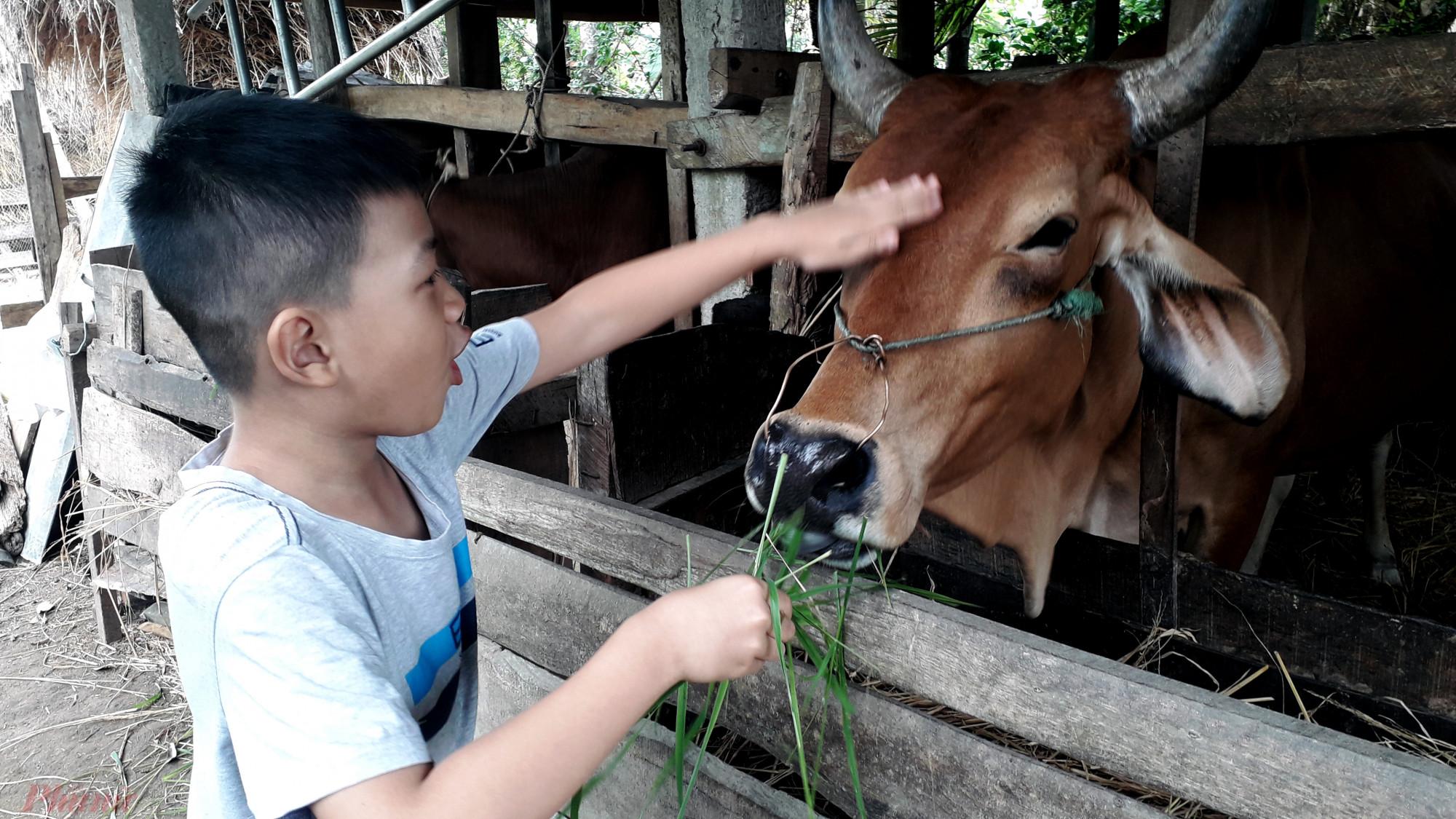 Với những đứa trẻ ở phố được cho bò ăn có và sờ vào đầu bò là trải nghiệm khó quên khi về quê chơi tết