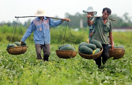 Nhiều mặt hàng nông sản của Việt Nam đặc biệt là thanh long và dưa hấu đang chịu tổn thất nặng nề.
