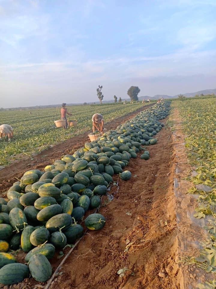 Một người dân sinh sống tại TPHCM phát miễn phí dưa hấu để giúp đỡ nông dân