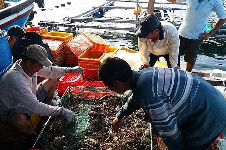 Do ảnh hưởng bởi dịch Covid-19, nhiều hộ nuôi tôm hùm tại khu vực Khánh Hoà, Phú Yên, Quảng Ngải có nguồn hàng xuất đi Trung Quốc đều gặp khó khăn, buộc nhiều hộ phải tìm nguồn cung khác, chấp nhận giá bán thấp hơn để đẩy được lượng hàng trước đây xuất đi Trung Quốc.