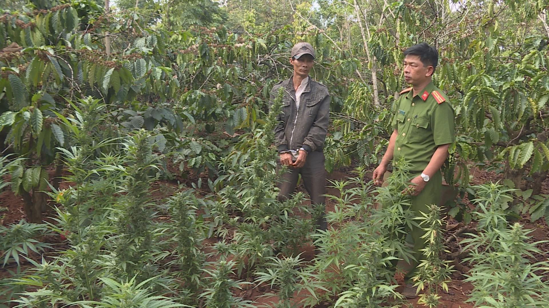 Hiện trường phát hiện hơn 1.000 cây cần sa