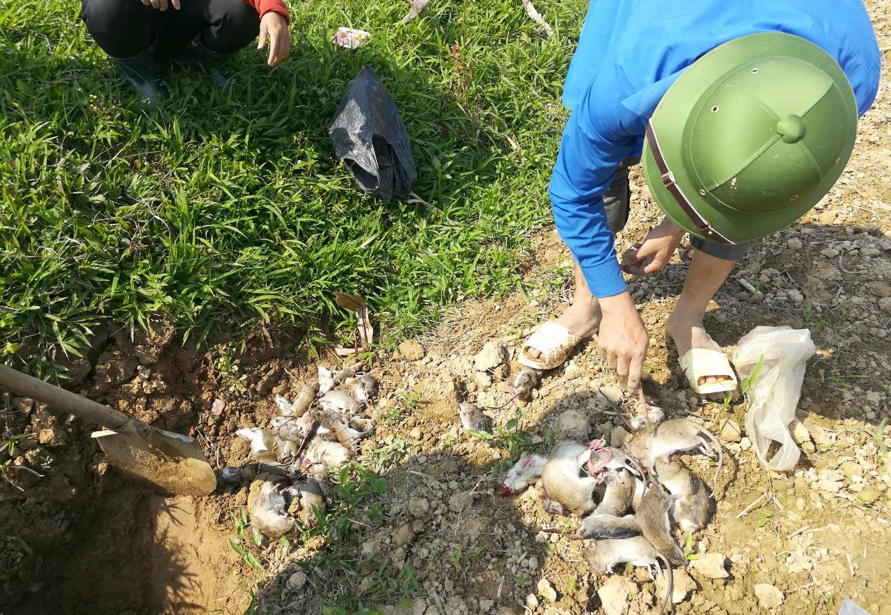 Chỉ sau một thời gian ngắn, người dân xã Thanh Lương đã bắt được trên 15.000 con chuột để bảo vệ mùa màng