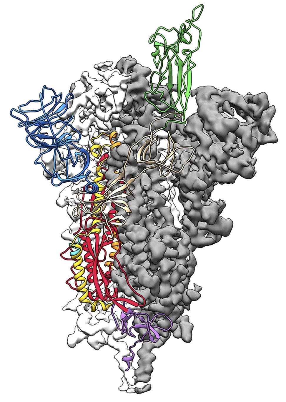 Bản đồ tỷ lệ nguyên tử 3D, hoặc cấu trúc phân tử, của protein tăng đột biến 2019-nCoV - Ảnh: AFP