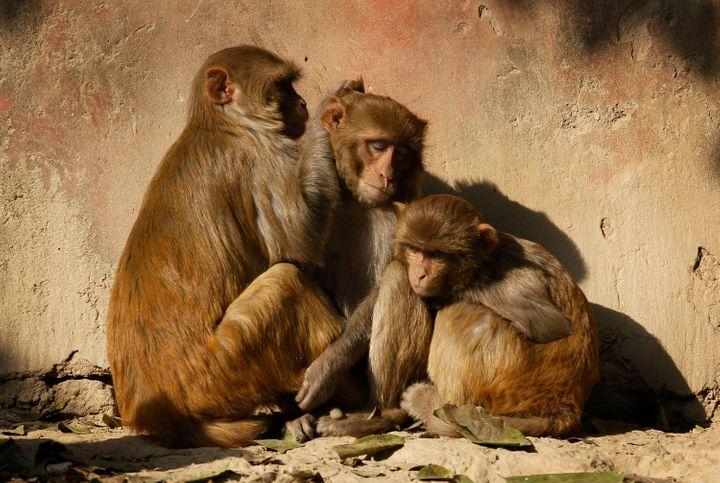 Những con khỉ sưởi nắng ấm buổi sớm sau một đêm giá lạnh bên ngoài đền Taj Mahal - Ảnh: AP
