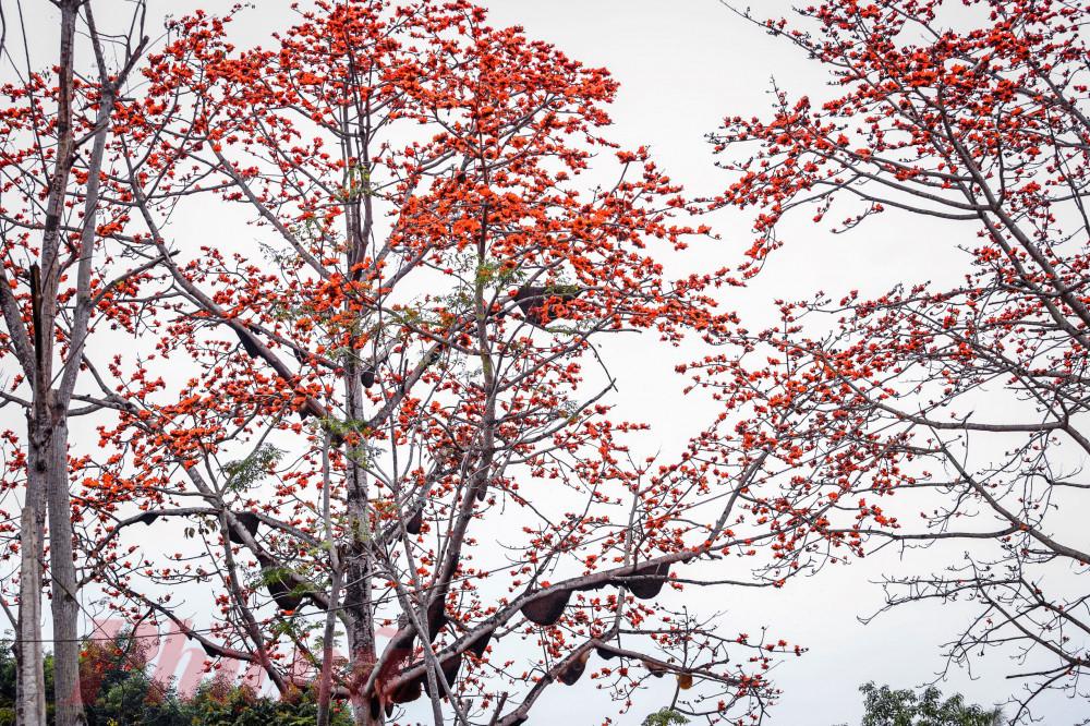 Theo bà Hoàn, cây gạo này được trồng từ năm 1979, đến nay cao chừng 40m. Nhờ được bảo vệ, mỗi năm số lượng đàn ong rừng kéo về cây gạo này làm tổ tăng thêm trên chục tổ.