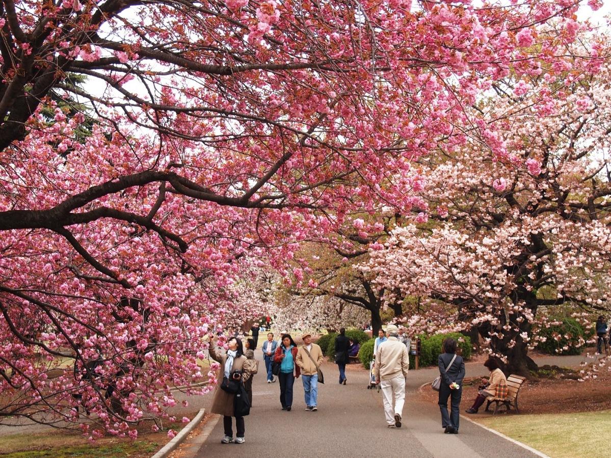 Hàn Quốc vào tháng 3, 4 được xem là cảo điểm du lịch vì rơi vào mùa hoa anh đào. Ảnh: minh hoạ
