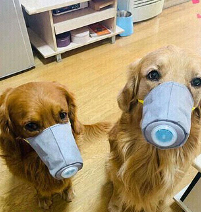 Nhiều chủ nhân lựa chọn khẩu trang dành riêng cho chó, mèo để bảo vệ thú cưng của mình khỏi virus.