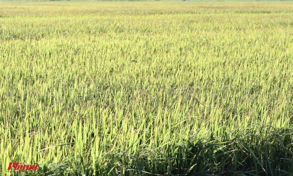 Những ruộng lúa chuyển màu vàng cứ ngỡ đến mùa thu hoạch, nhưng thực chất đang bị cháy lá do thiếu nước.