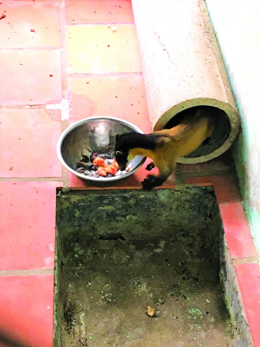 Cá thể cầy họng vàng do người dân giao nộp đang được cứu hộ tại Trạm Cứu hộ động vật hoang dã Củ Chi Ảnh: Chi cục Kiểm lâm TPHCM cung cấp