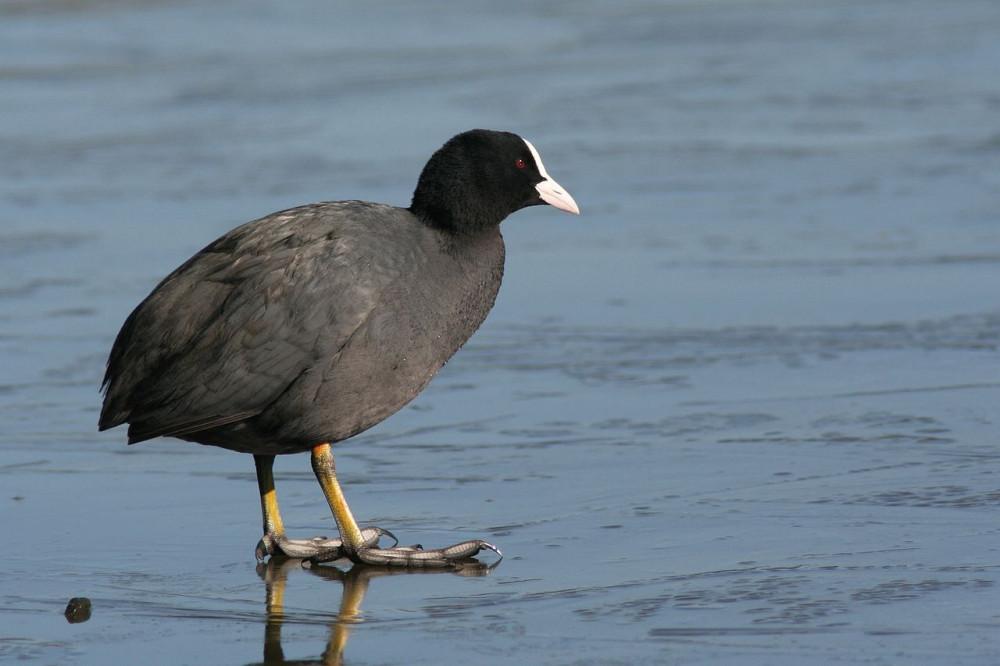 Sâm cầm - loài chim quý được mệnh danh ăn sâm bổ dưỡng - Ảnh minh họa