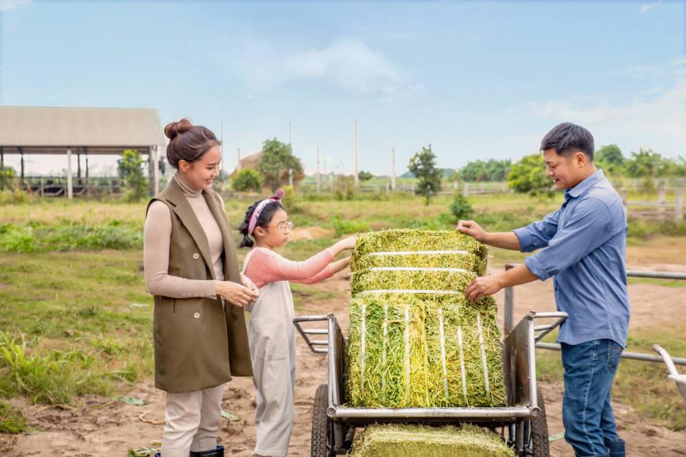 Cỏ alfalfa được nhập khẩu, giàu đạm, xơ, là thức ăn không thể thiếu trong khẩu phần ăn của bò cao sản, giúp bò tăng thể trạng và sản lượng. Ảnh: FCV