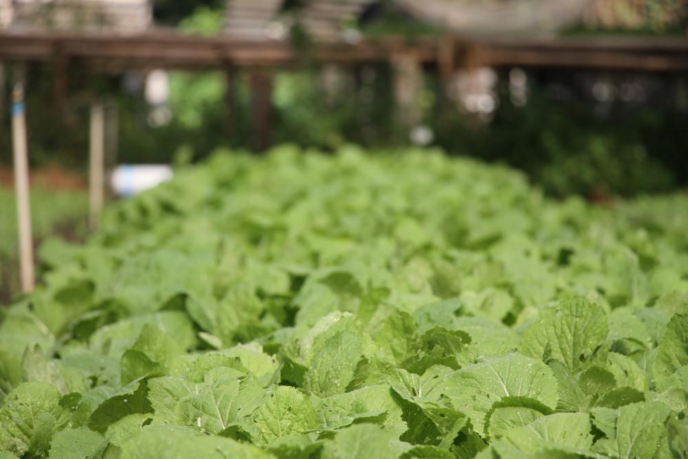 Rau được trồng bằng phân hữu cơ, phân vi sinh thân thiện với môi trường, an toàn cho sức khỏe người dùng.