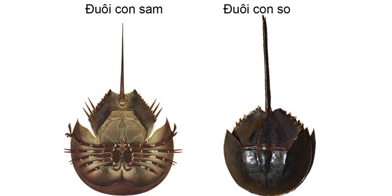 Rất khó phân biệt giữa con sam và con so biển - Ảnh: internet