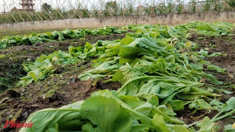 Những luống rau xanh phải nhổ bỏ vì không có người mua của một nông hộ