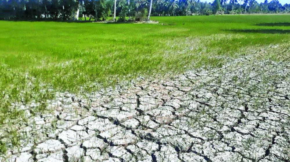 Cây lúa trổ đòng xác xơ trong nắng hạn, hàng vạn gia đình nông dân miền Tây điêu đứng giữa mùa khô  khốc liệt nhất trong hàng trăm năm qua